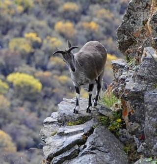 청양의 푸르스름함이 희미하게 감도는 회색 빛깔 털은 그들이 사는 바위산에서 뛰어난 보호색 역할을 한다. - 위키피디아 제공